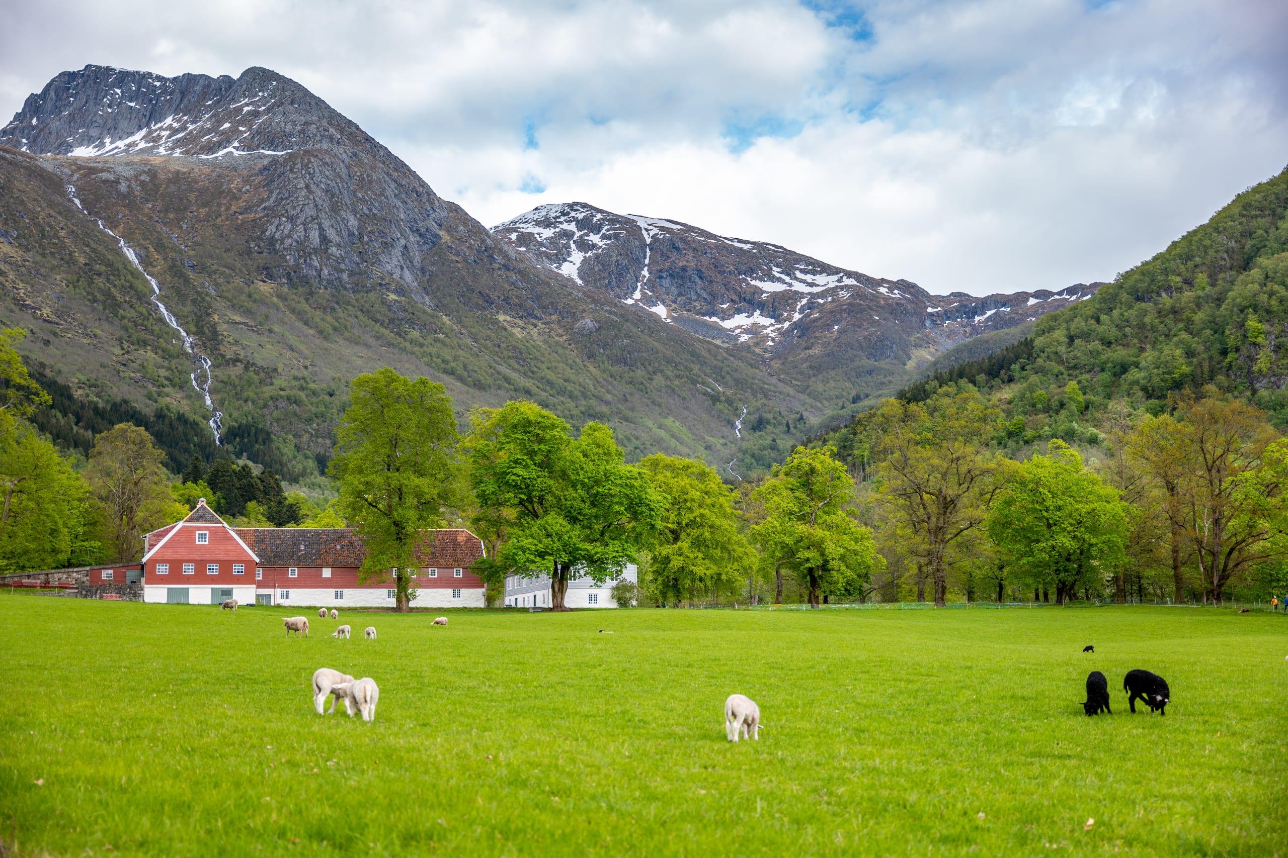 Grazing lamb in Rosendal