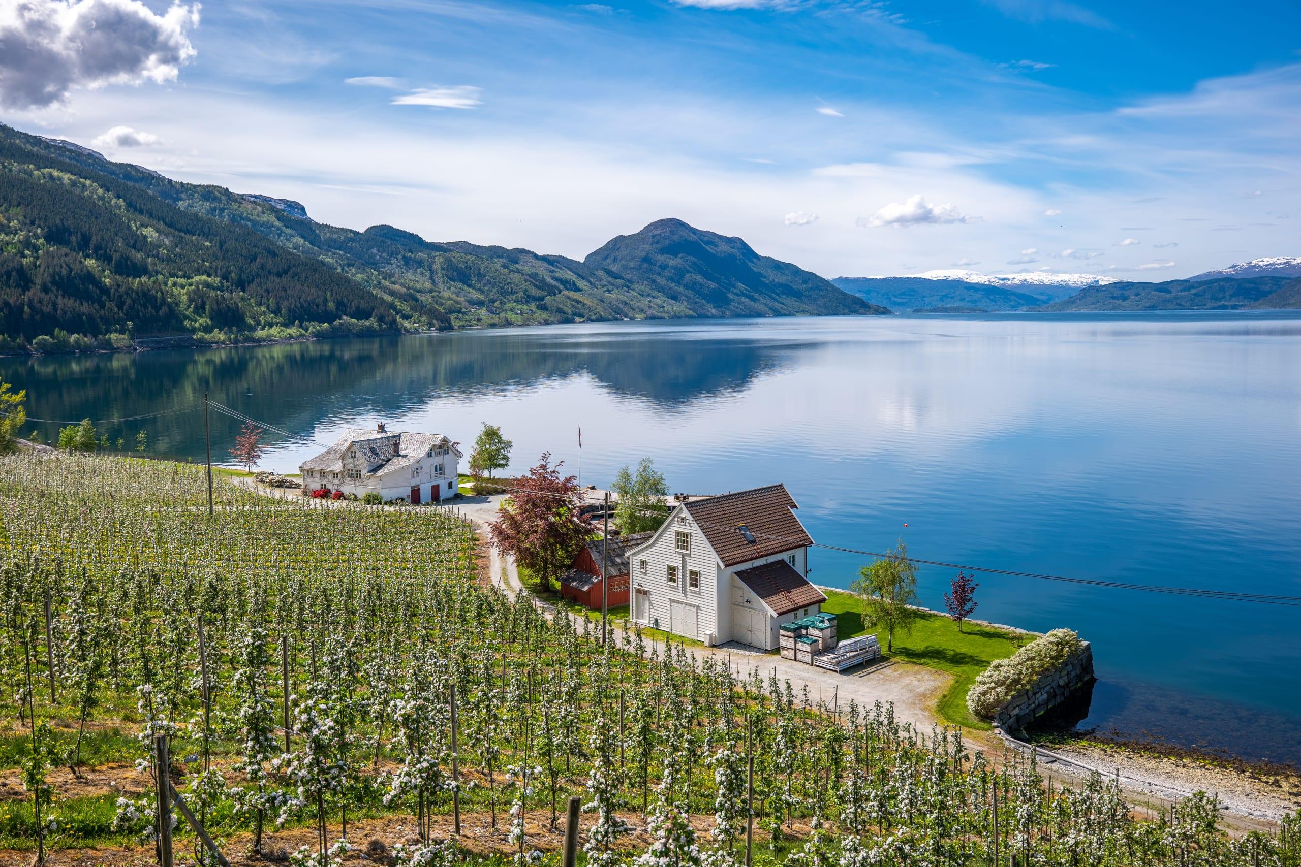 Blossoming fruit fram along the Hardangerfjord