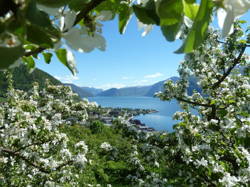 Sognefjord fruit orchards