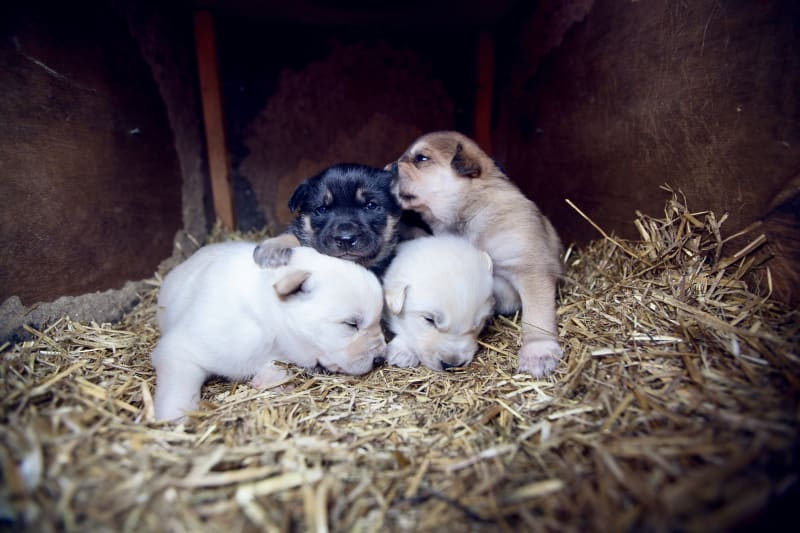 Cute husky puppies at Beitostølen