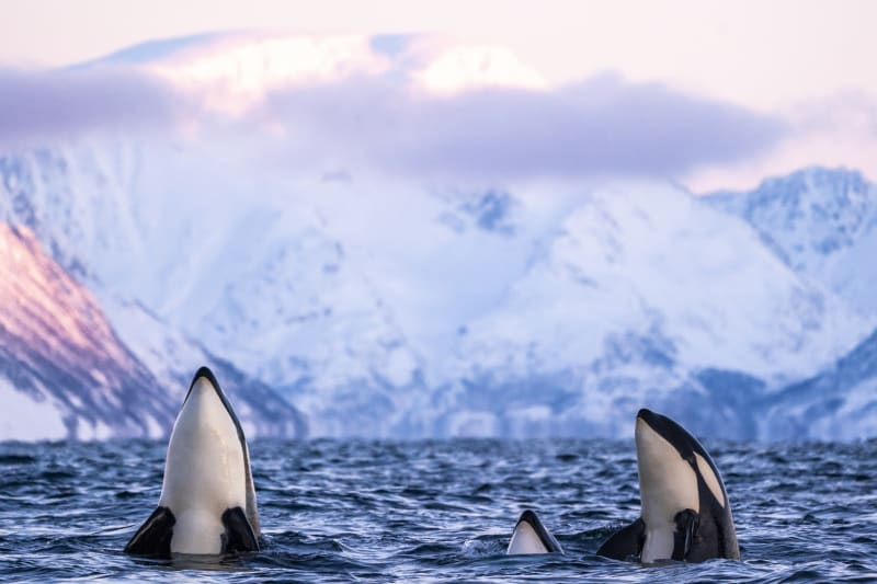 Orcas in the Arctic waters of Northern Norway