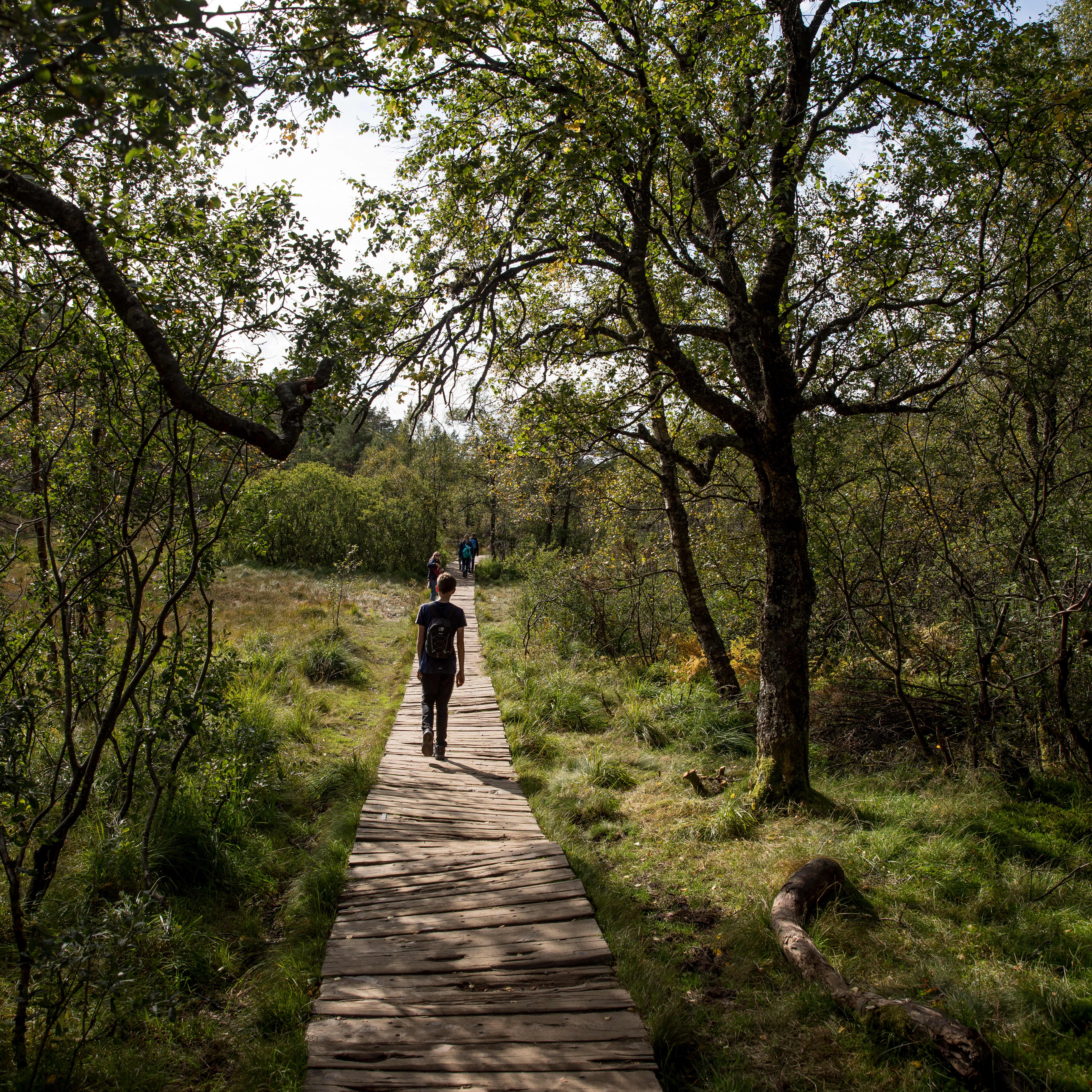 A person walking on a wooden path on the way to Preikestolen. He is surrounded by green grass and forest trees.