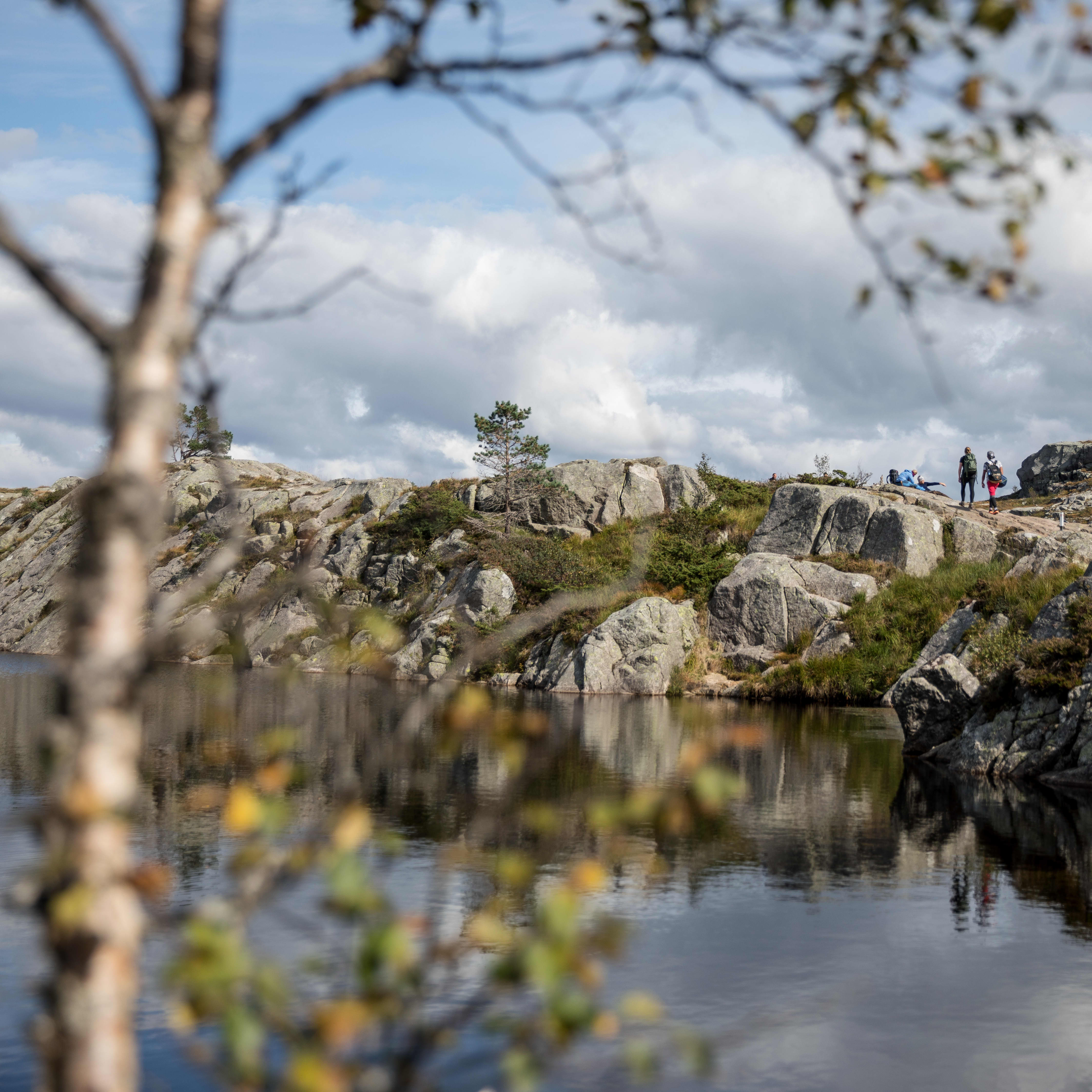 Hikers are walking in the rocky forrest terrain towards Preikestolen. In the foreground is a tree and a water that reflects the hiking terrain.