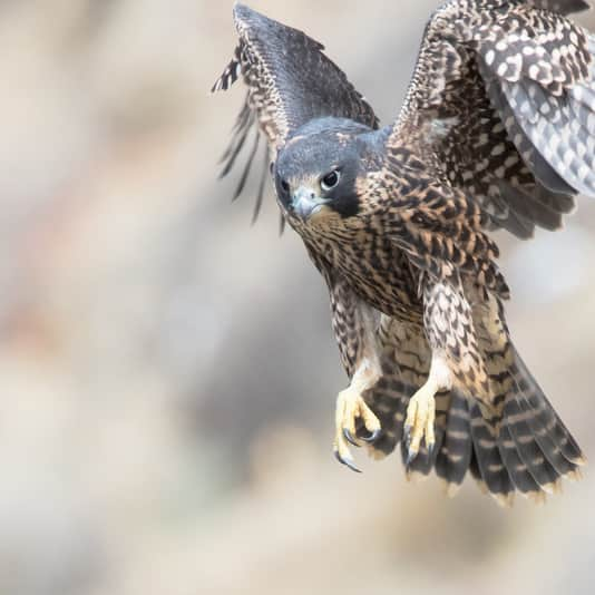 A peregrine falcon coming in for landing.
