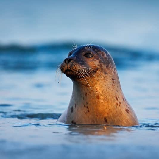 A seal sticking his head up from the water at sunset