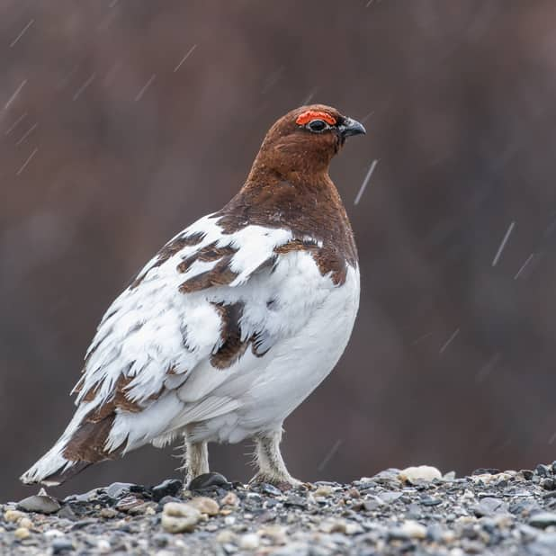 Ptarmigan Male sitting on rocks. He has a brown head and a mix of white and brown feathers.