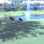 Bald Eagles @ Naples Lakes