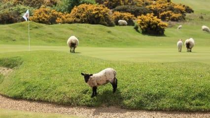 Tierisches Getummel auf den Golfplätzen der Welt