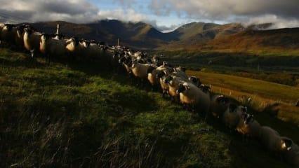 Whisky, Schafe und viel Golf - Goldener Herbst in Schottland