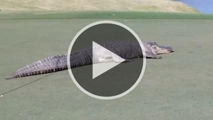 Das Monster lief ganz entspannt über das Grün und ließ sich nicht stören von den Golfern. (Foto: kansascity.com)