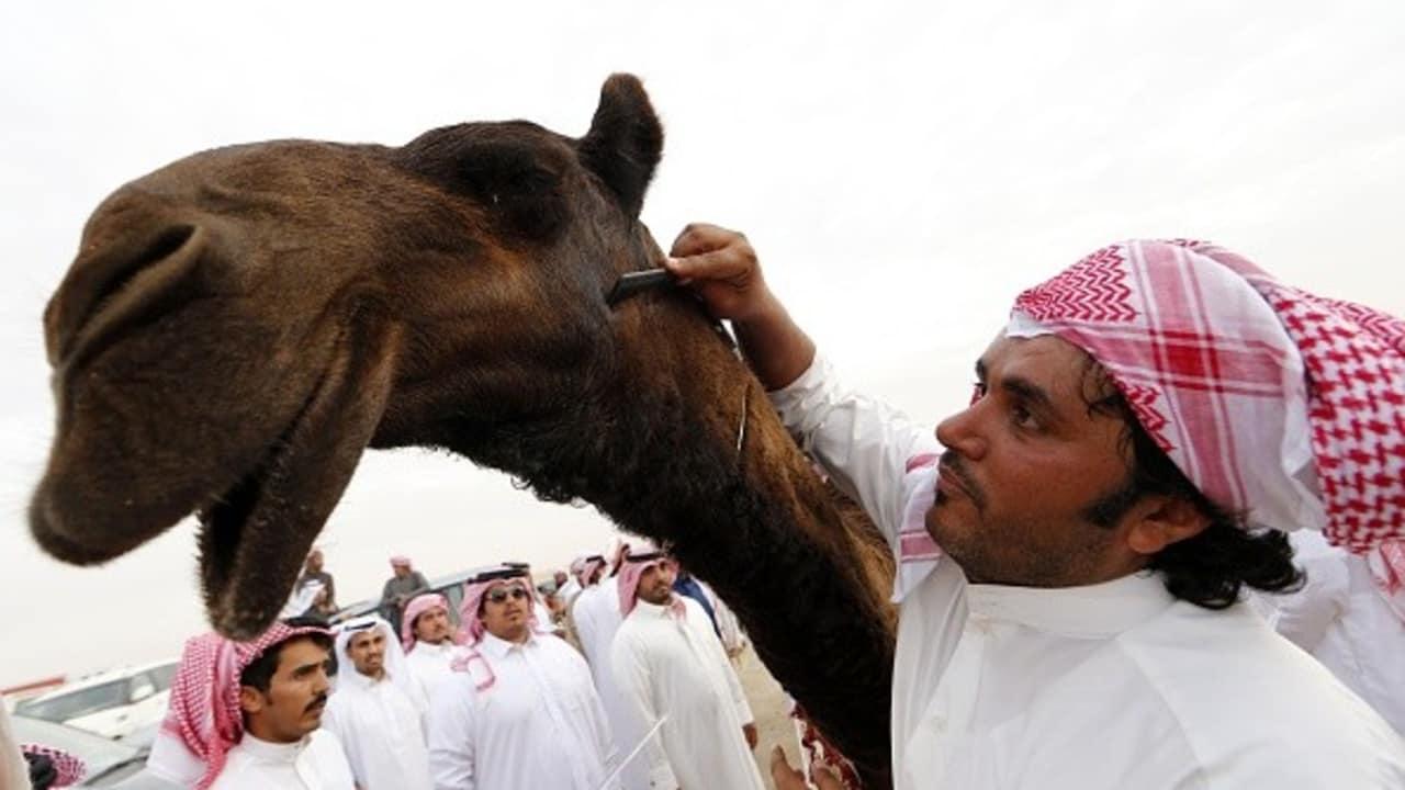<h2>Zärtlichkeiten für eine wahre Schönheit</h2> Die Beduinen pflegen ein besonderes Verhältnis zu ihren Nutztieren. In regelmäßigen Abständen finden mehrtägige Schönheitswettbewerbe statt, bei denen das edelste Dromedar ausgezeichnet wird. Wie hier zu sehen, werden dem preisgekrönten Sieger besonders intensive Streicheleinheiten zuteil. Kamele, die sich nicht durch Attraktivität auszeichnen, können sich auf andere Art beweisen.<br>(Foto: Getty)
