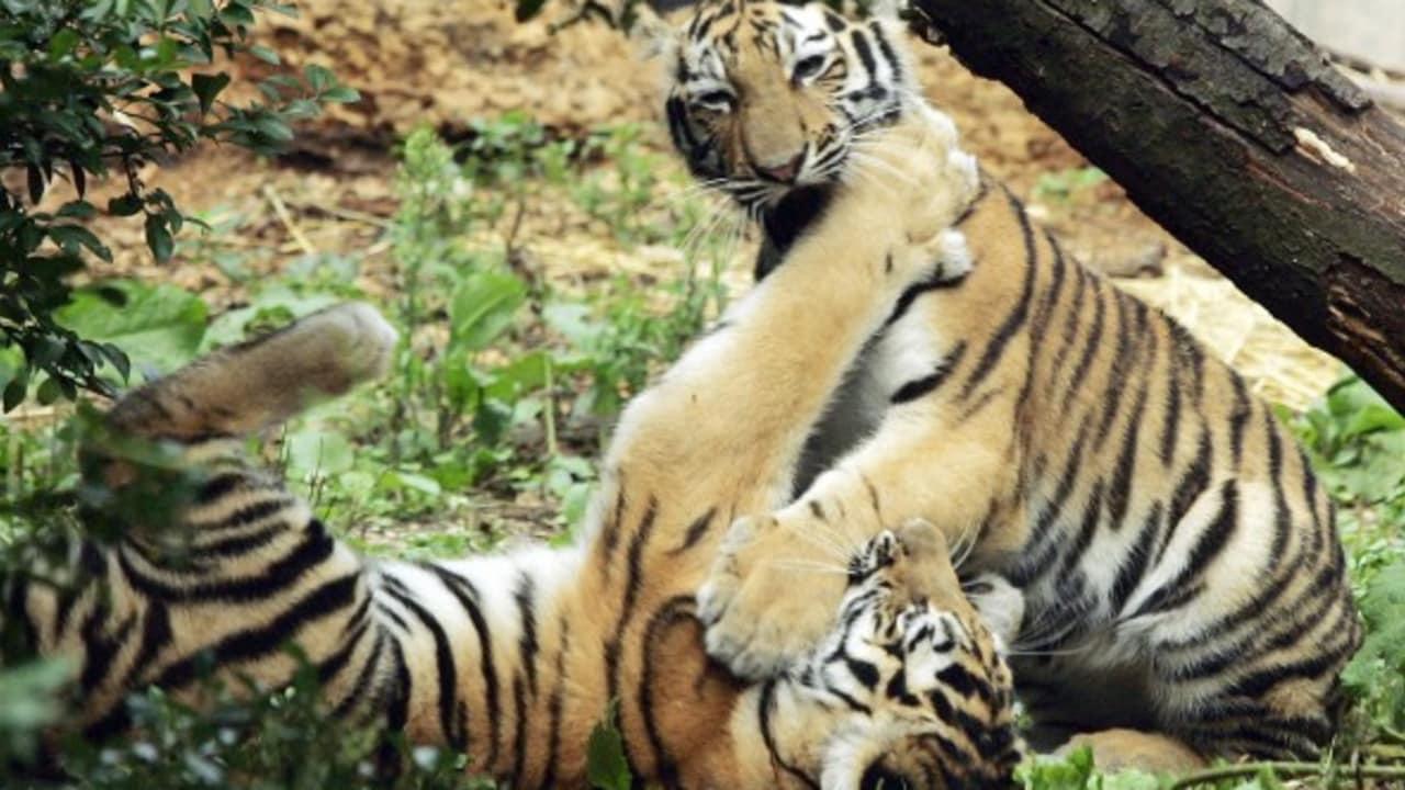 <h2>Tiergarten Schönbrunn</h2>Der Tiergarten Schönbrunn, der älteste Zoo der Welt. Er wurde bereits mehrfach zum besten Zoo Europas gewählt. (Foto: Getty)