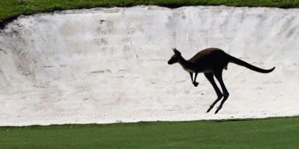 Känguruh auf Golfplatz in Australien