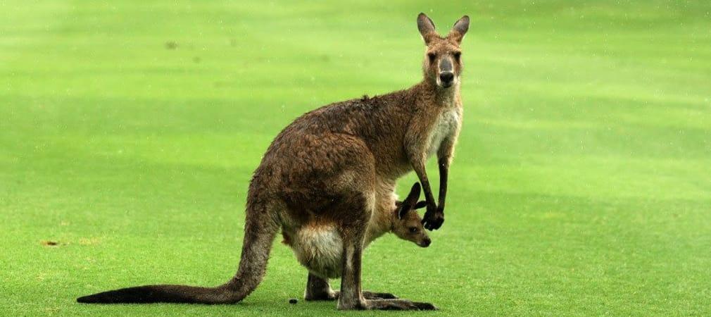 Golf-Video: Auf einem australischem Golfplatz entdeckt ein Baby-Känguru das Tanzen für sich.