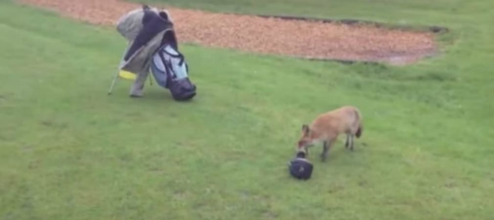 Von wegen Golf ist kein Sport! Laufen Sie erstmal hinter ein Fuchs her, der Ihnen die Schlägerhaube klaut - dreimal! (Foto: Getty)