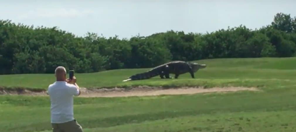 Zwar ist ein Alligator auf einem Golfplatz in Florida nichts Ungewöhnliches, Exemplare dieser Größenordnung sind allerdings selten. (Foto: Video)
