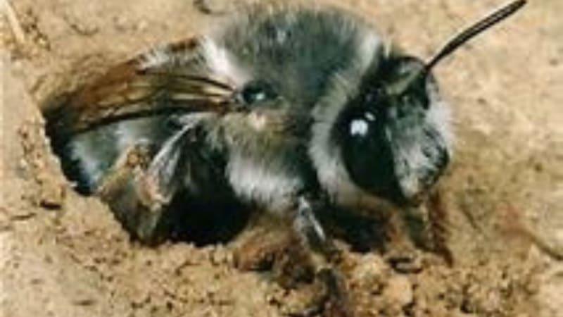 Im Münchener GC in Thalkirchen sind Erdbienen in Bunkern und im Rough aktiv. (Bildquelle: Münchener GC Thalkirchen)