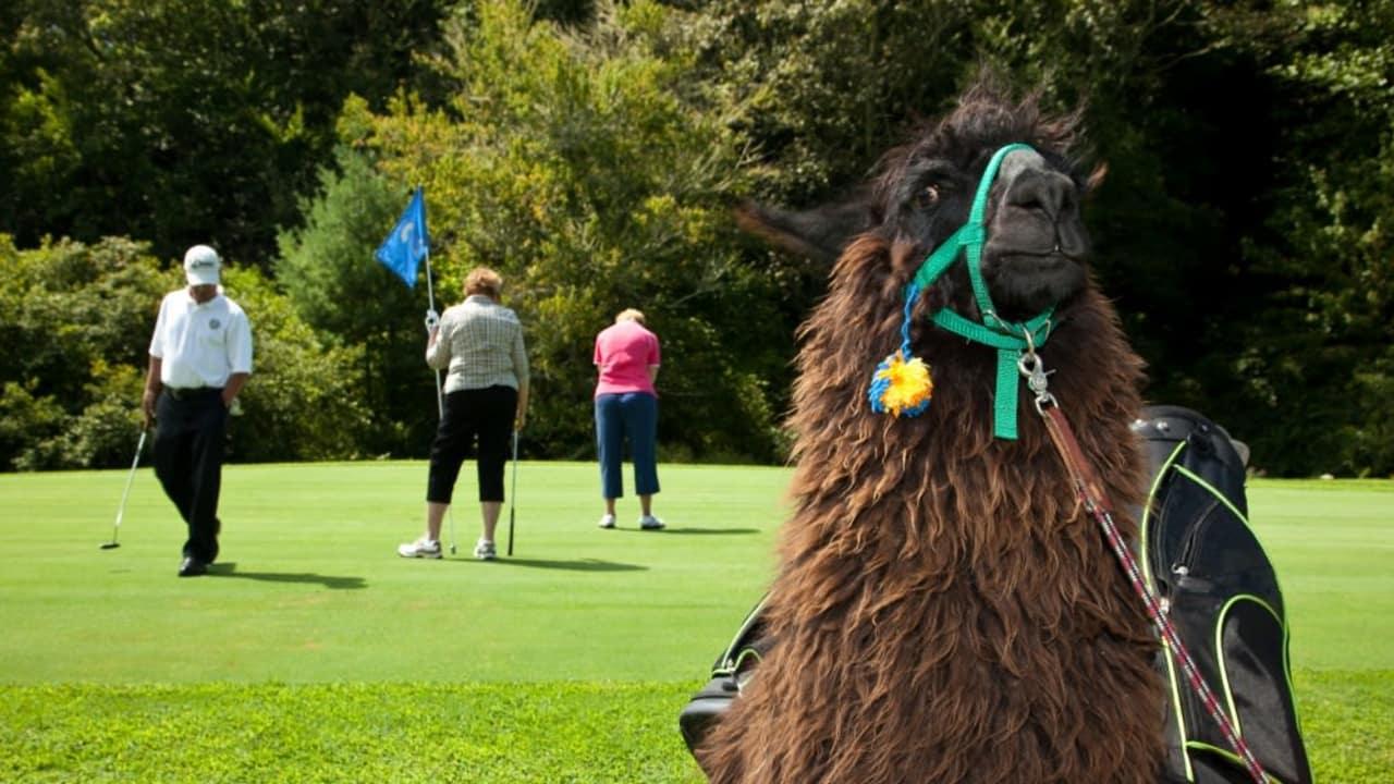 Golfregeln Entfernungsmesser : Kuriose golfregeln witzige die es wirklich gibt