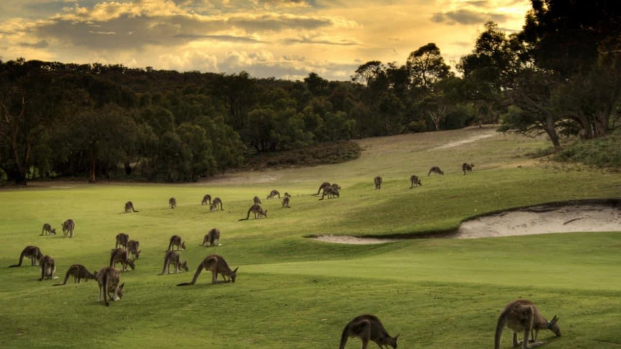 Golfplatz mit Känguruhs