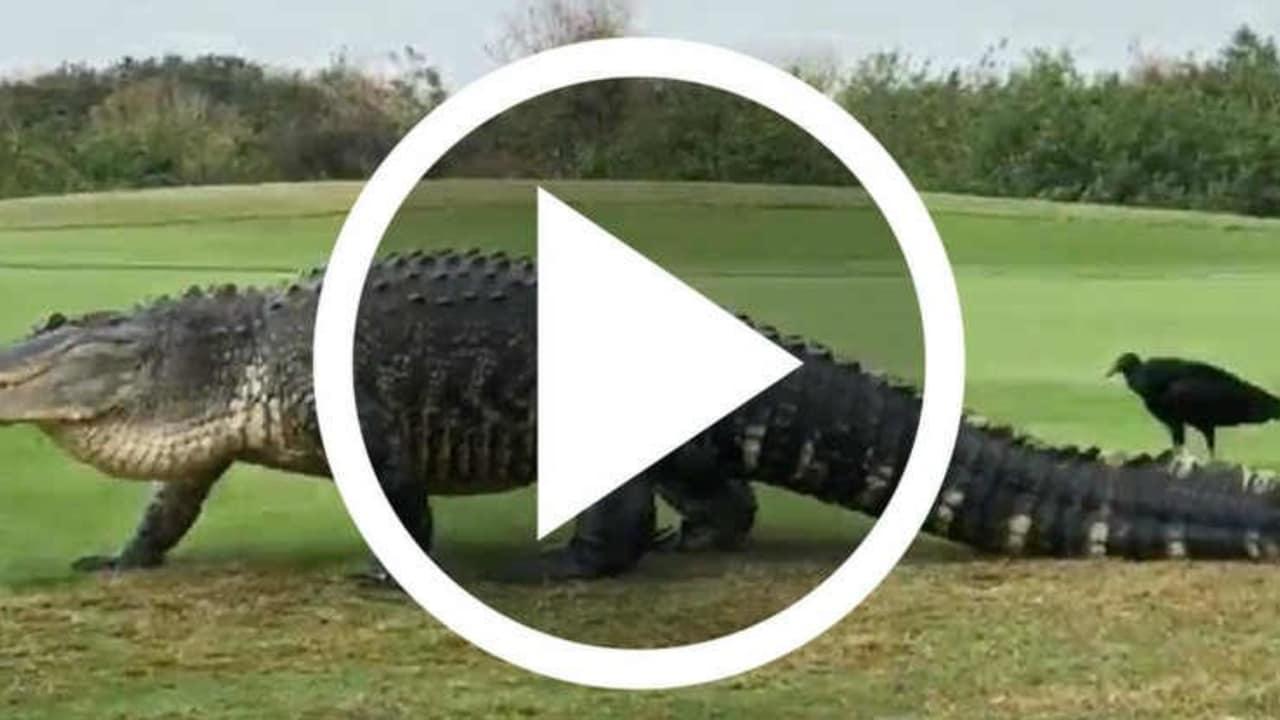 Das Riesenkrokodil Chubbs kehrt zurück auf den Golfplatz. (Foto: Facebook / Pope Golf)