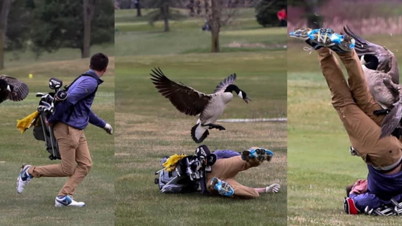 Die Gans macht Jagd auf einen Golfer, der keine Chance mehr hat, dem Angriff zu entkommen. (Foto: Twitter/@BlissAthletics)