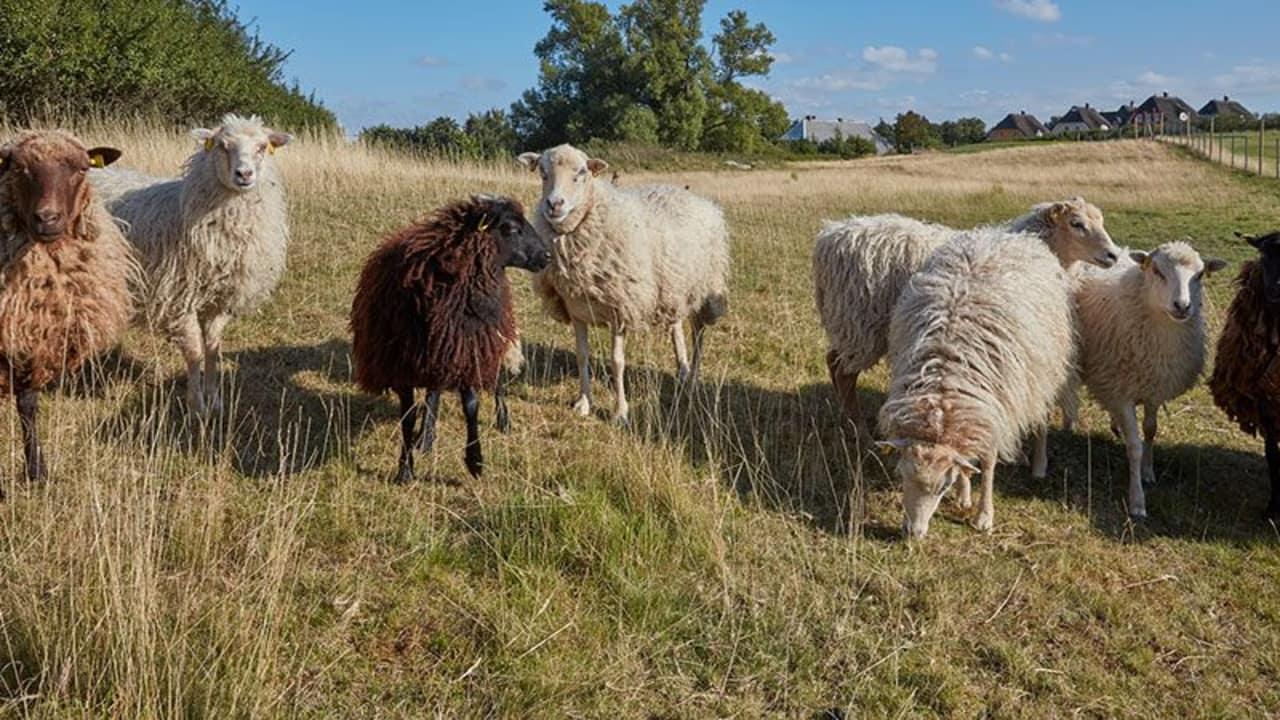 Diese seltene Schafrasse lebt an der Ostsee und bezeugt, dass Golfplätze durchaus zum Tier- und Naturschutz beitragen. (Foto: Ostsee Golf Resort Wittenbeck)