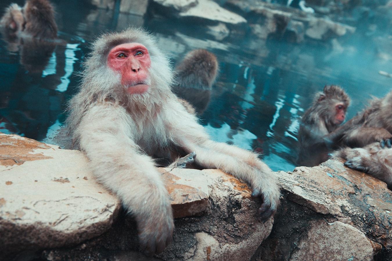 sauna-monkey-image