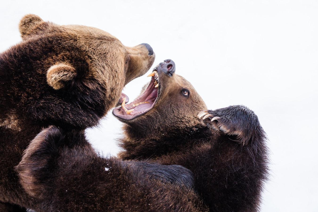 bear-image