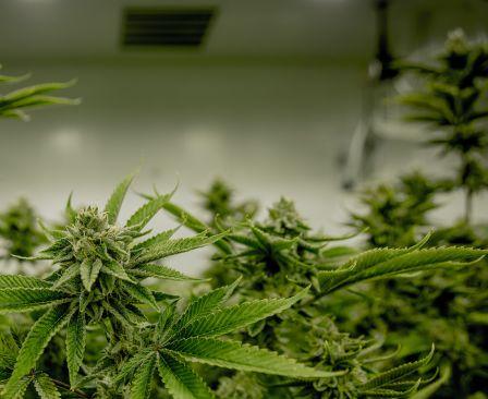 grown weed image