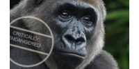Help the Cross River Gorilla