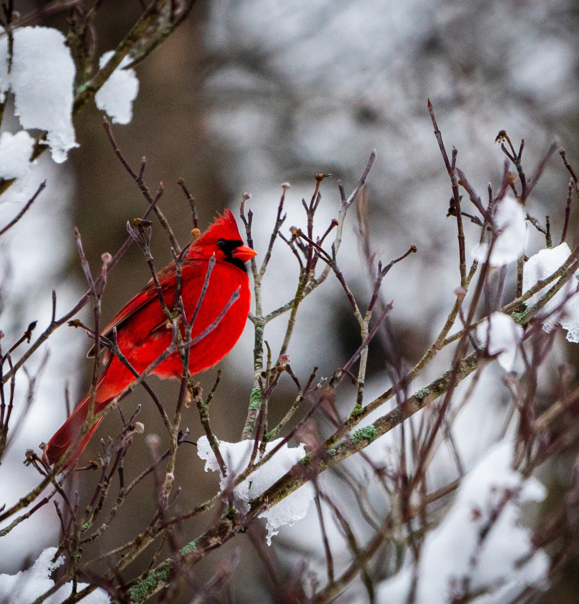 A male northern cardinal sits in a snow-covered tree.