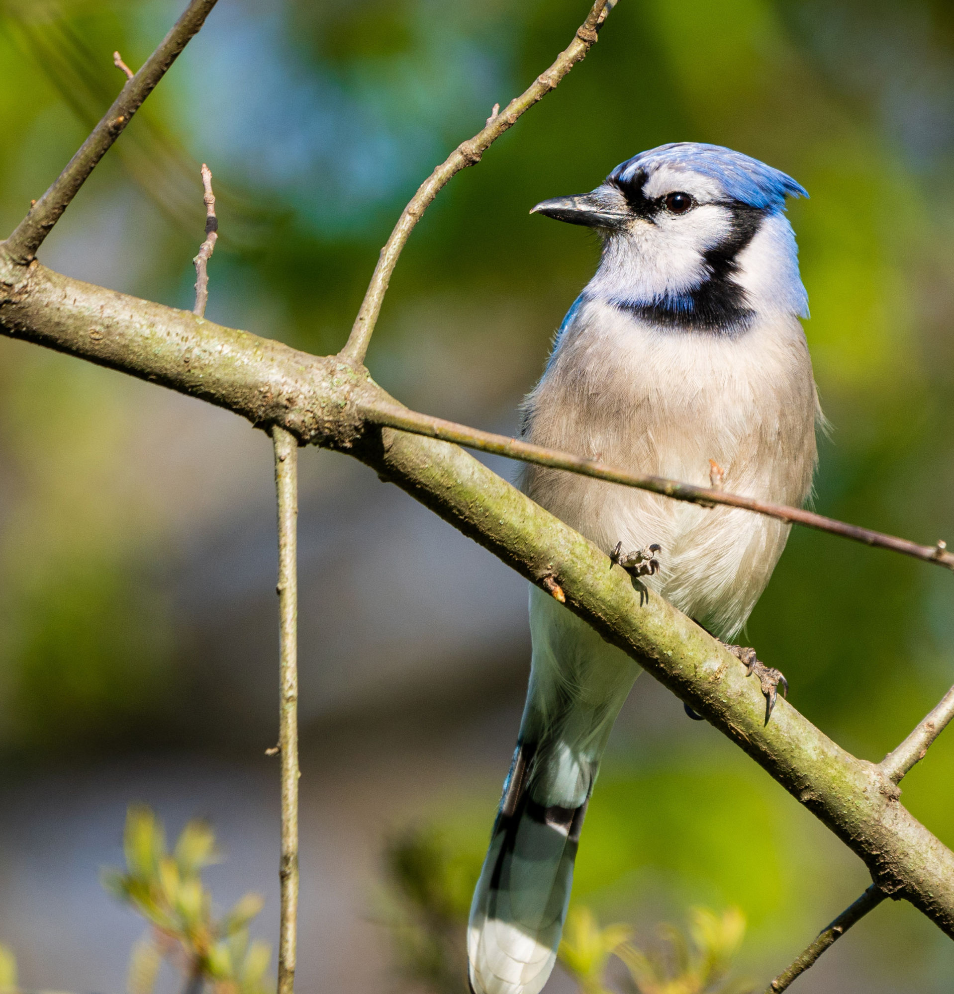 A blue jay rests on a tree branch