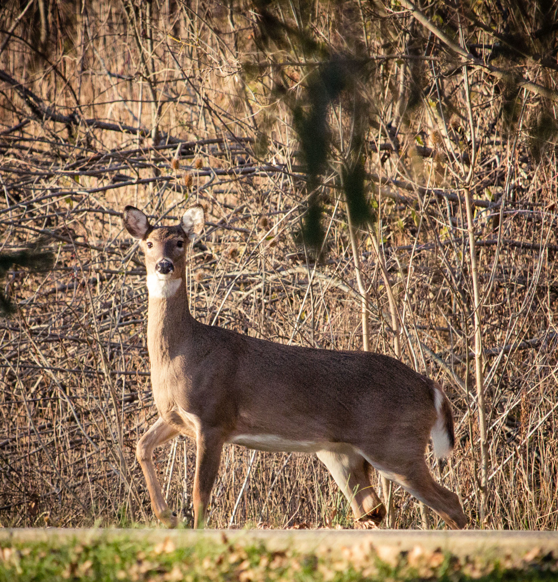 A deer pauses on a trail in the woods.
