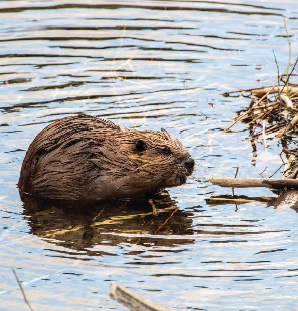 A Spring Walk to a Beaver Lodge