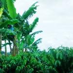 kolumbia-Lucero-kava