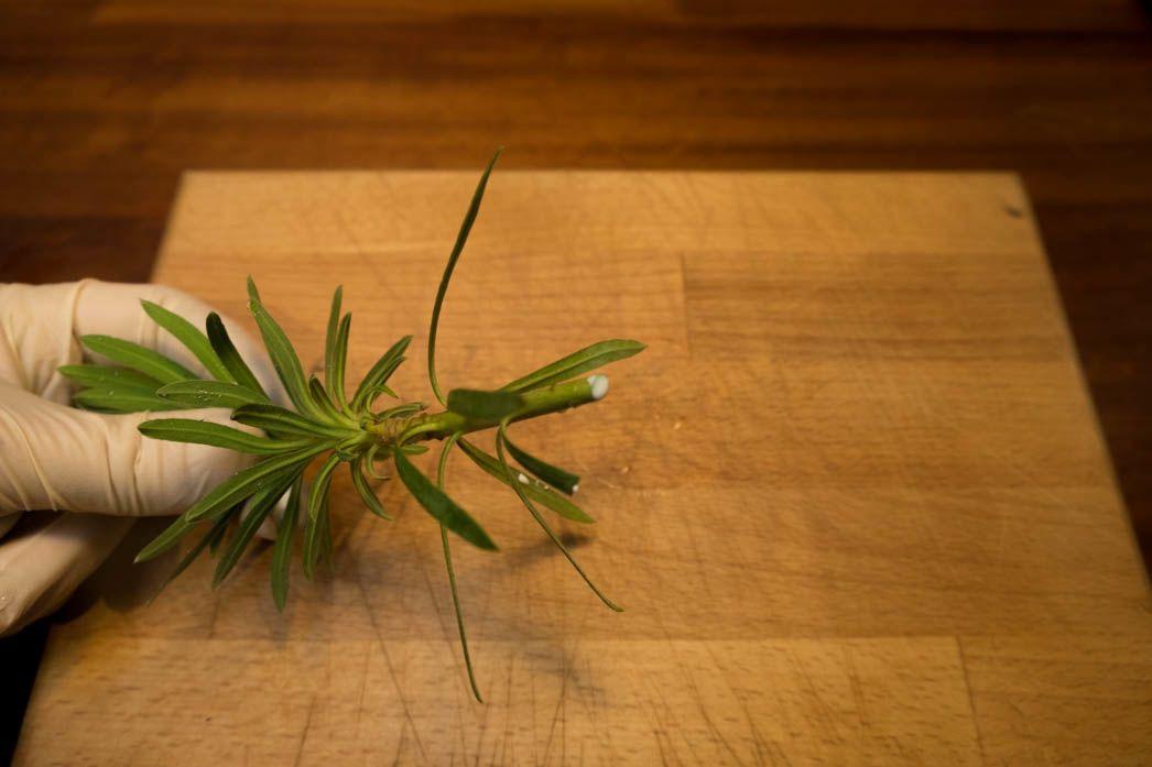 Euphorbia latex