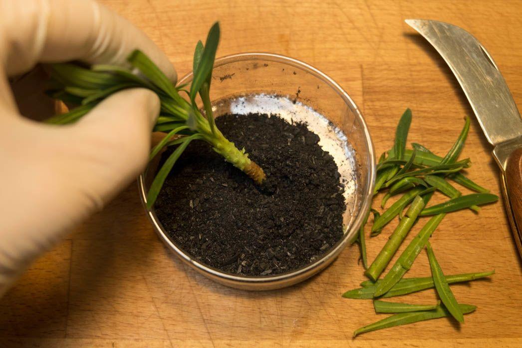 Sealing Euphorbia wound