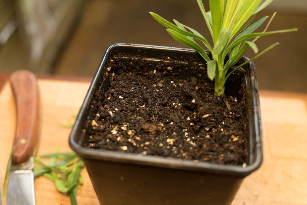 Planting Euphorbia cutting