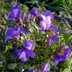 Polemonium yezoense 'Purple Rain'