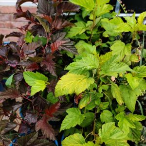 Physocarpus opulifolius 'darts gold'