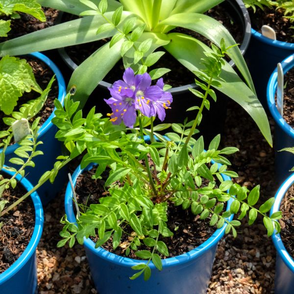polemonium yezoense purple rain