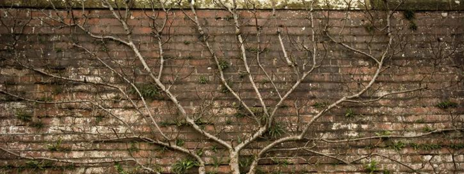A tree growing against a brick wall