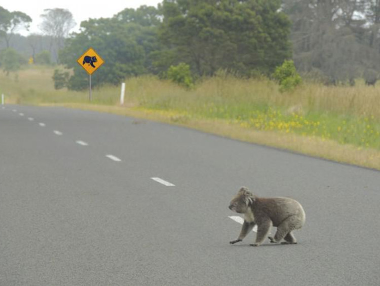 a koala crossing the road