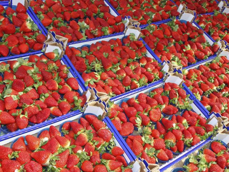 Boxes of fresh and ripe strawberries