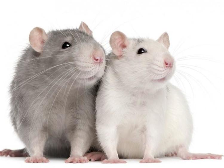 The Rat Maze Expectations Vs Reality Gcu Blog