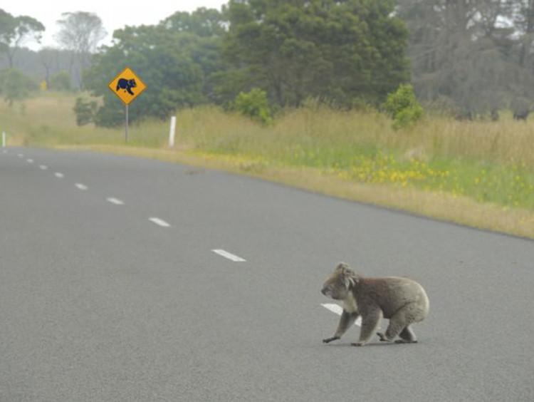 a koala crossing the road