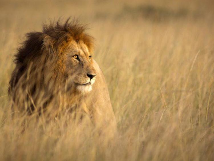 lion in a field
