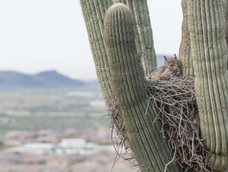 Owl in a cactus
