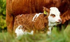 calf_cow_show.jpg