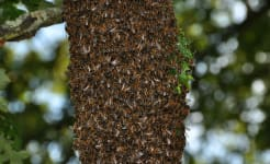 Bee swarm in Plymouth (closeup).jpg